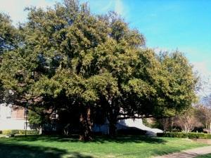 Greek Revival Trees?