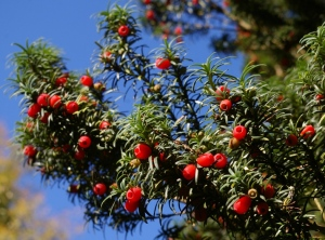 The beautiful poison Yew Berries