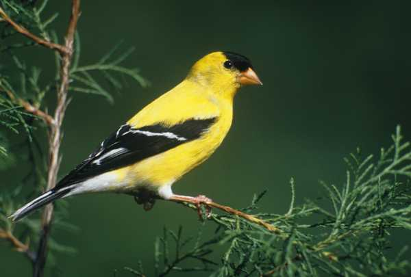 Not THE goldfinch