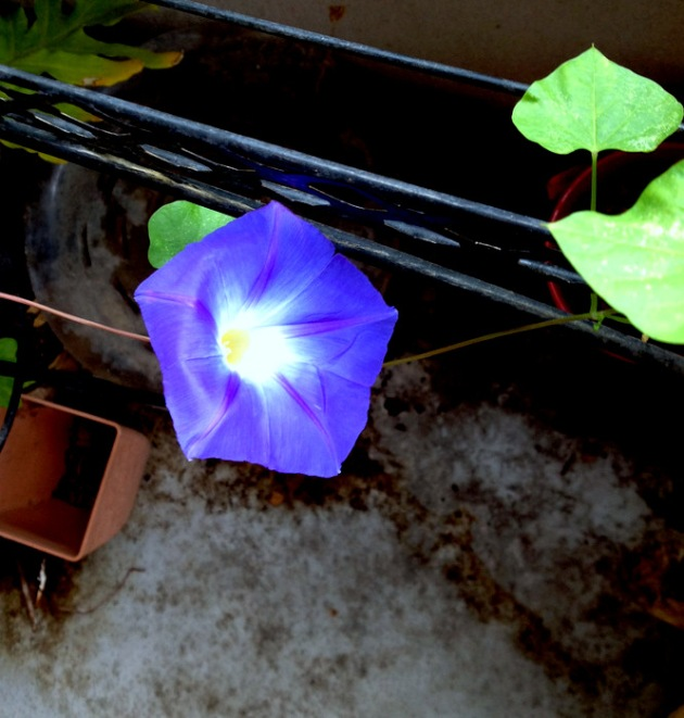 My poem might begin with a radiantly blue morning glory.