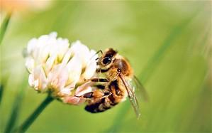 A bee circling cloverr