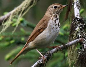 The Hermit Thrush knows