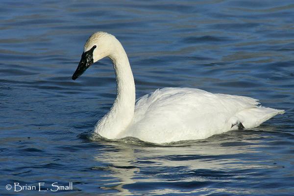 Trumpeter-Swan_B9H7775
